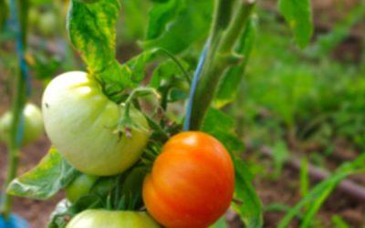 C'est l'été, les premières tomates sont arrivées !
