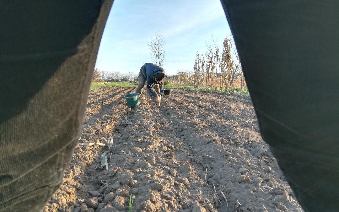 Plantation de fèves Novembre 2018